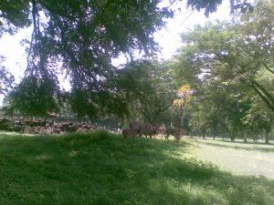 Mengejar menjangan totol di pelataran Candi Bubrah