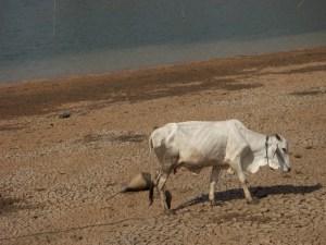 sapi yang digembalakan di daratan waduk yang kini menyusut
