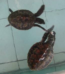 Eretmochelys imbricata-sisik